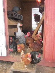 Feb 2013 hens 008