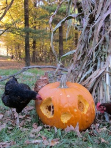 chicken's pumpkin